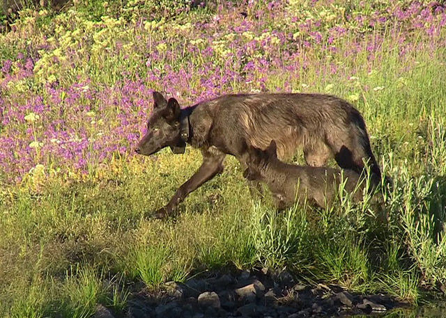wolf image 3 - pup and female, ODFW
