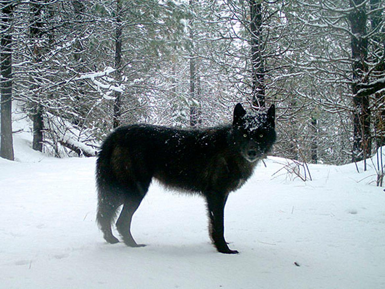 US Gray Wolf in snowy tree-lined landscape